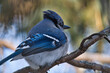 Closeup of a blue jay perched on a tree branch under the sunlight with a blurry background