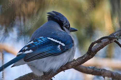 Fototapeta Closeup of a blue jay perched on a tree branch under the sunlight with a blurry