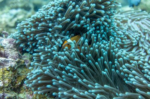 Fotografija Clown fish in an anemone underwater