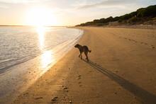 Brown Dog Walking At The Beach During Sunset