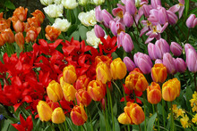 Close-up Of A Group Of Colorful Blooming Tulip Flowers In Spring