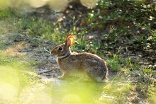 An Eastern Cottontail Sitting ...