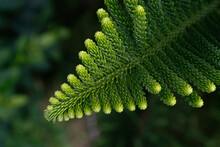 Norfolk Island Pine Leaf