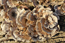 Brown And Gray Turkey Tail Mushrooms In Bright Sun At Campground Woods In Des Plaines, Illinois