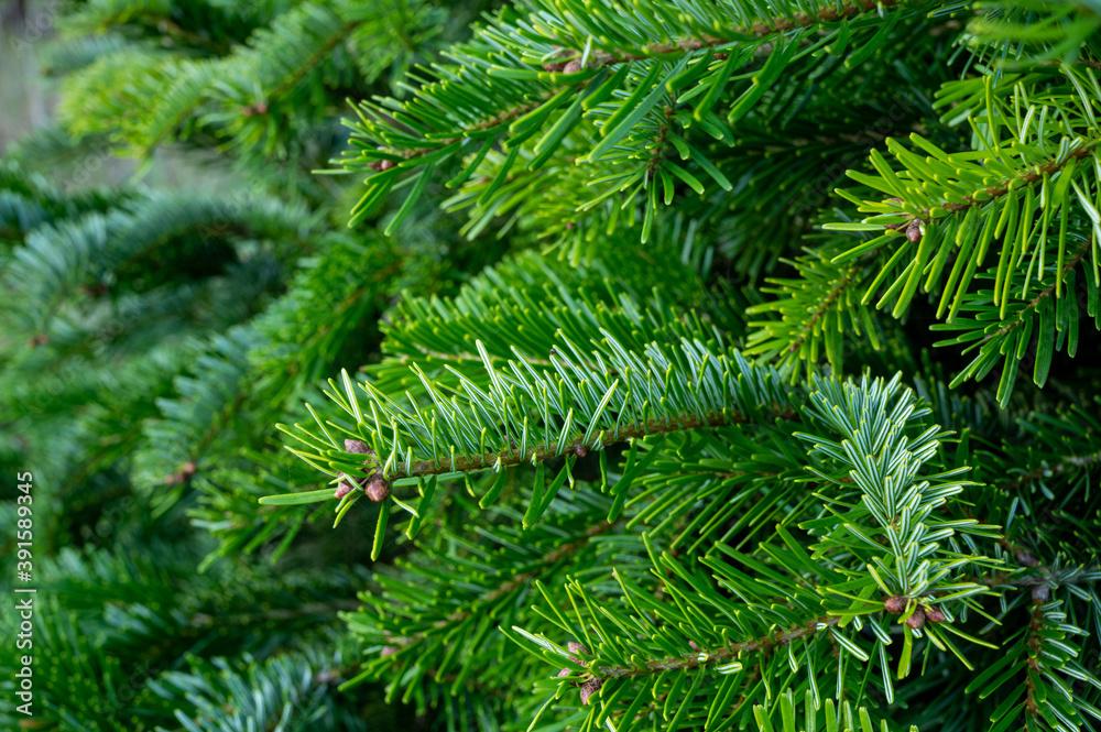Fototapeta Plantation of evergreen nordmann firs, christmas tree growing ourdoor
