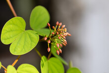 Beautiful Lysiphyllum Hookeri ...