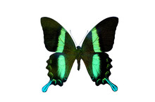 Papilio Blumei Green Ulysses Butterfly Isolated With Clipping Path On White Background