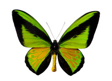 Light Green Male Butterfly Ornithoptera Goliath Supermus. Birdwing, Ornithoptera Priamus. World Second Largest Butterfly Species Papua New Guinea Isolated With Clipping Path On White Background