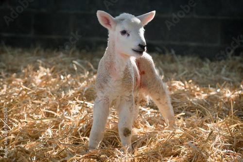 Canvastavla New born Lleyn lamb at lambing time in spring, United Kingdom
