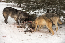 Grey Wolves (Canis Lupus) Feed Together At Deer Carcass Winter