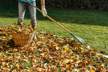 Person Raking Fallen Leaves In The Garden.Girl Holding A Rake And Cleaning Lawn From Leaves During Autumn Season.Girl Standing With Rake. Autumnal Work In Garden.Fall Seasonal Housework