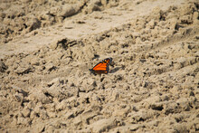 Monarch Butterfly In The Sand At Sauble Beach