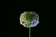 Isolated Wild Carrot Flower, Known As Bird's Nest, Scientific Name Daucus Carota