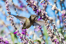 Rufus Hummingbird Facing Forward Flutters Wings Rapidly To Hover At The Lupine Wildflower With Beak Inserted Deep.