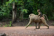 Baboon On Mother's Back