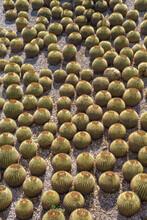 Golden Barrel Cactus GardenLos Angeles, California.