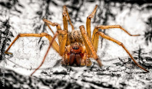 A giant house spider Canvas Print
