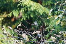 ハミングバード  ハチドリ  木の枝にとまる 毛繕い 擬態するハミングバード