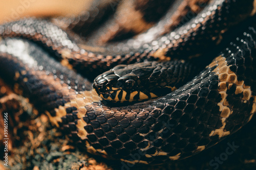 Fotografering Closeup of a snakehead looking from its coils