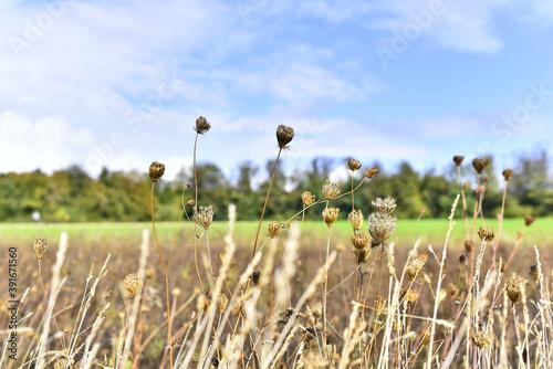 Foto Closeup shot of ornamental grass bladder sedge