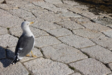 Pigeon On The Street In Portugal