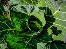 Cabbage Is A Leafy Green, Red,...