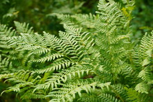 Dense Fern Thickets Close-up. ...