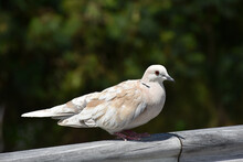 Closeup Shot Of A Lovely Collared Dove Perched On A Wooden Fence With A Nature Background