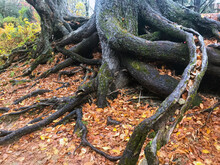 Autumn Exposed Tree Roots With Colorful Leaves Inside Gap In Root