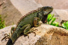 Green Lizards Iguana. Wildlife...
