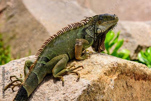 Green lizards iguana Fototapet