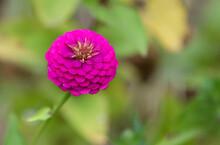 Zinnia Flower Growing In Garden