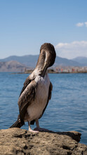 A Cormorant Bird With Its Wing...