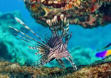 Closeup Shot Of Red Lionfish S...