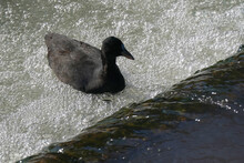 Eurasian Coot In Water