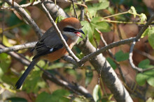 Bull Headed Shrike On Branch