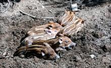 Wild Boar Piglets Sleep On The...