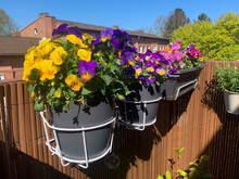 Decorative Flower Pots With Spring Flowers Viola Cornuta In Vibrant Violet And Yellow Color, Purple Pansies In Flower Pots Hanging On A Balcony Fence In Balcony Garden