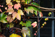 Red Leaves Of Wild Grapes. Autumn Leaves Of Wild Grapes With Blurred Background. Autumn Background. Selective Focus