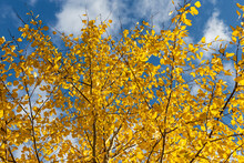 Horizontal Photo Of A Group Of Aspen Trees With Yellow Foliage Is Against The Blue Sky Background In The Forest In Autumn
