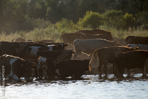 a herd of cows, horses and sheep with a shepherd came to the shore of the lake t Fotobehang