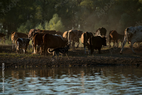 Foto a herd of cows, horses and sheep with a shepherd came to the shore of the lake t