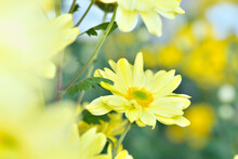 Yellow Chrysanthemum In Full B...