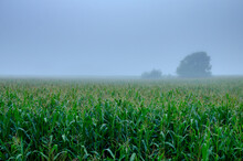 Cornfield In Fog. Foggy Morning On The Farm