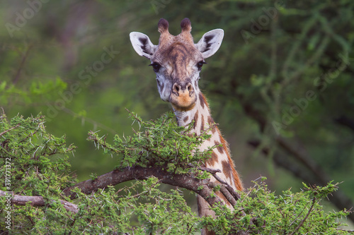 Canvastavla Portrait of a giraffe in the bush area of the Serengeti National Park in Tanzani