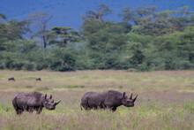 Two Black Rhino Walking In The...