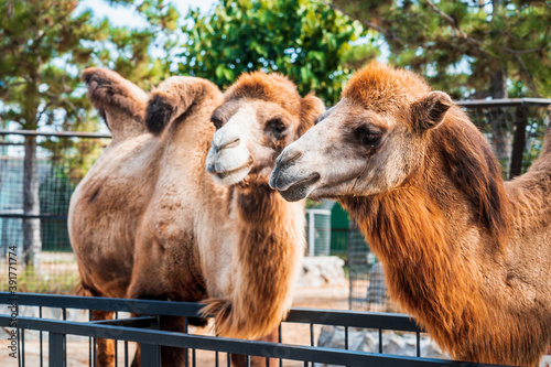 Foto The family of the camels in the zoo