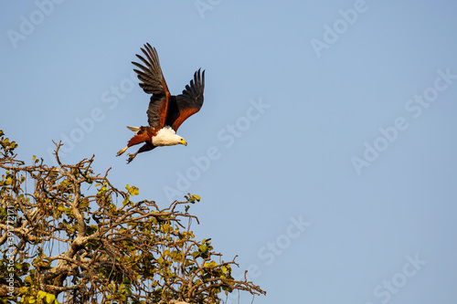 African Fish Eagle (Haliaeetus vocifer) hunting in Mana Pools National Park in Zimbabwe. Blue background and copy space