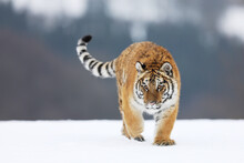 Siberian Tiger Walk On Snow. Beautiful, Dynamic And Powerful Animal. Typical Winter Environment. Taiga Russia. Panthera Tigris Altaica
