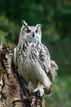 Western Siberian Eagle Owl (Bu...